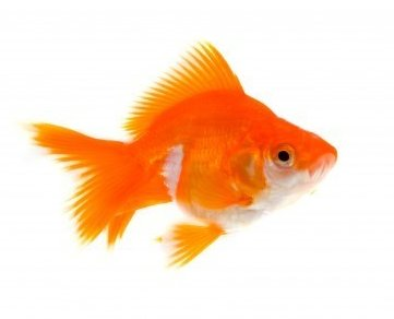 Fantail Goldfish suitable for Pond or water garden