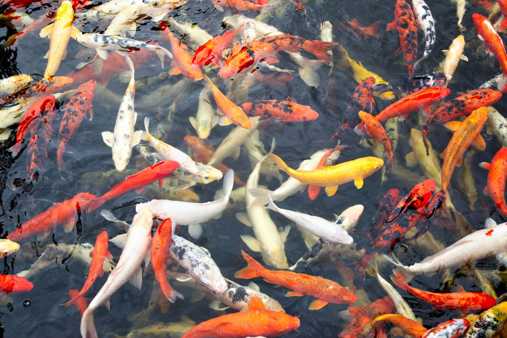 Koi in a group